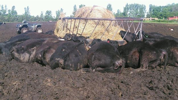 cows-killed-by-lightning_536551520621