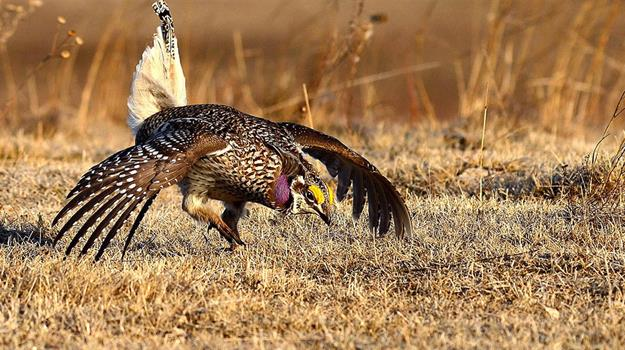 sharp-tailed-grouse_17264520621
