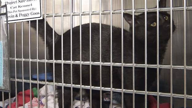 black-cat-sioux-falls-area-humane-society_133472530621