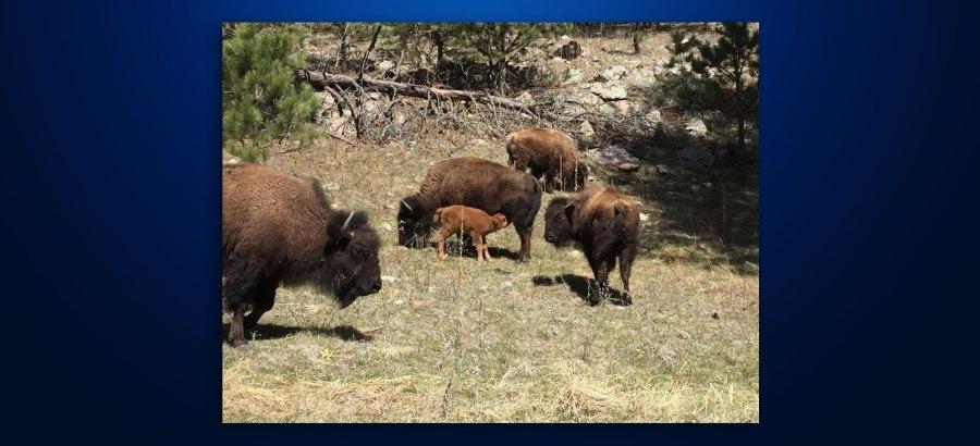 buffalo-born-at-custer-state-park_335567530630