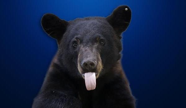 black-bear_689844540621