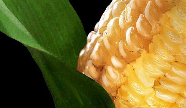 corn-farming-farms-gmo-crops-markets_926675520621