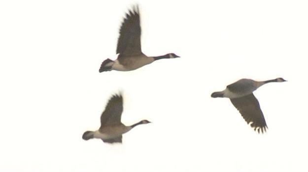 canada-geese-goose_635248540621