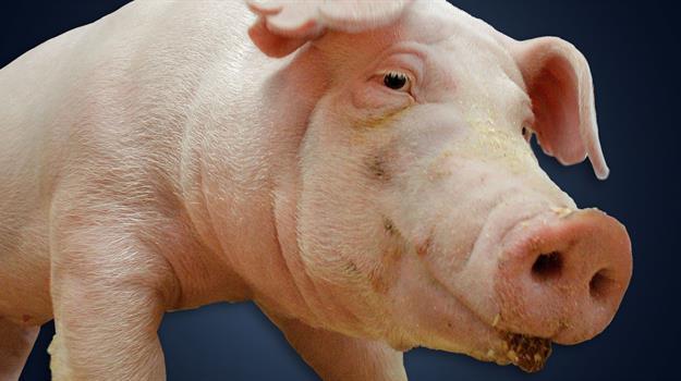 hog-feedlot-hog-farm-pigs-pig-pig-feedlot_584164520621