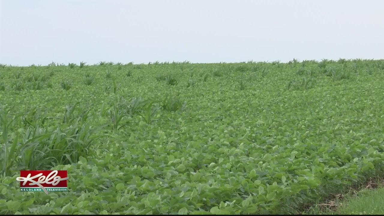 South Dakota Farmers Losing Millions Because Of Trade War
