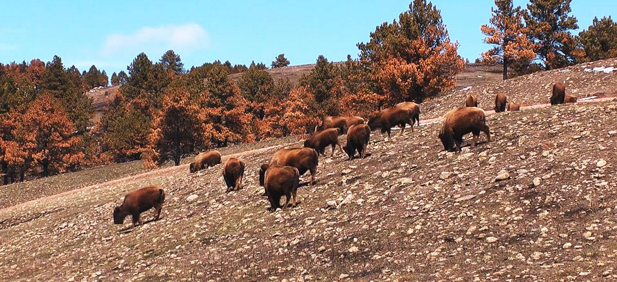 buffalo-herd_1529348595163.jpg