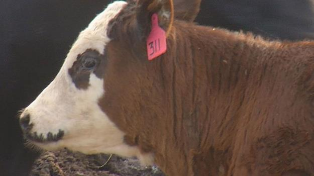 cattle-cows-farming-agriculture-ag-markets-livestock_660636540621