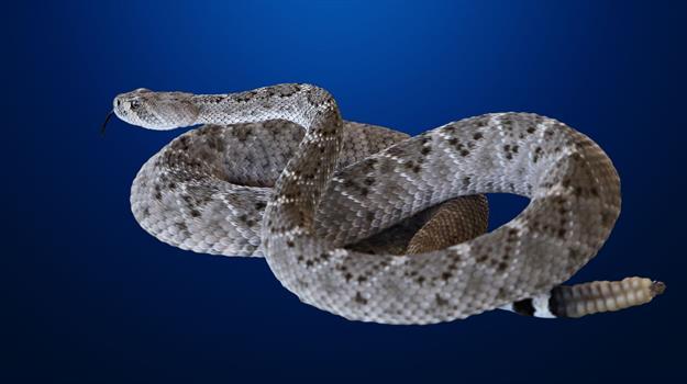 rattlesnake2e6a66e506ca6cf291ebff0000dce829_496266550621