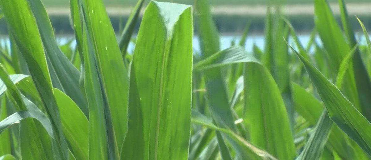KELO Corn General