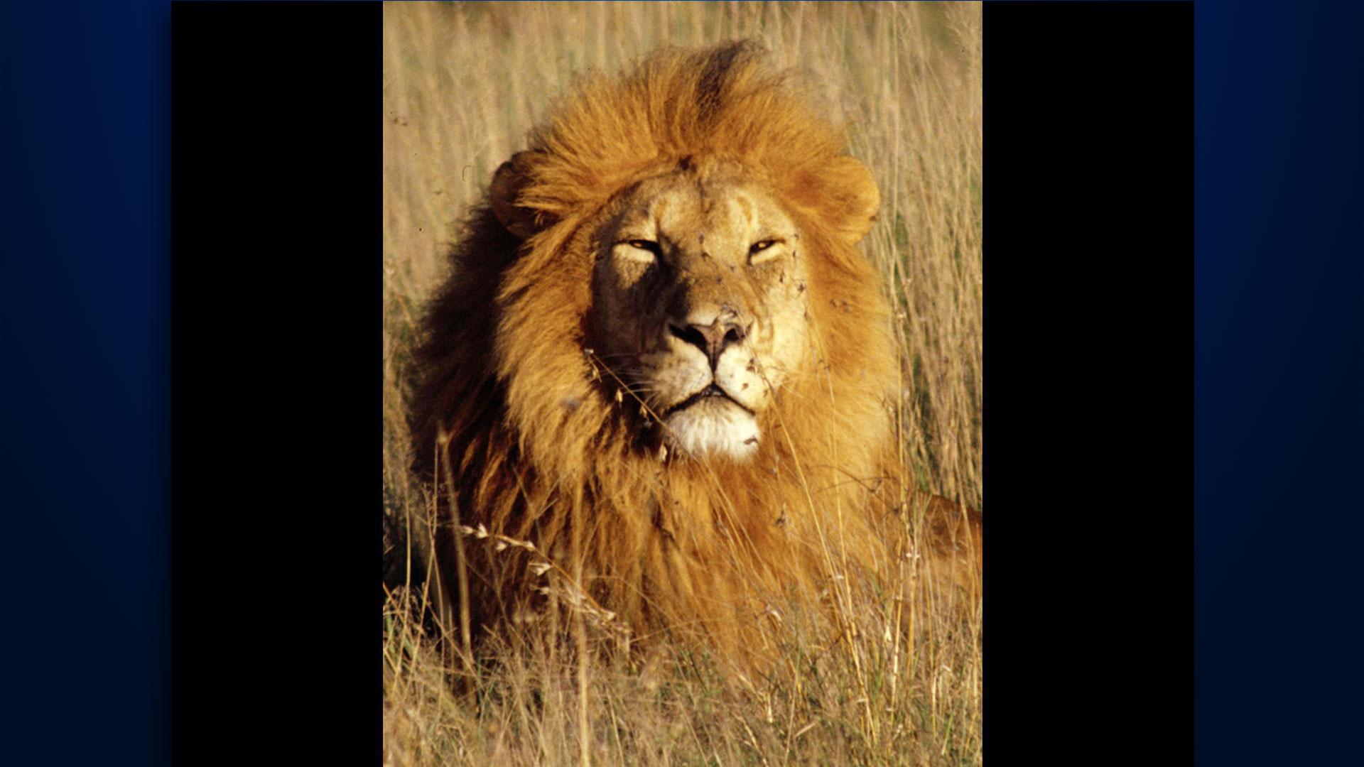 KELO African Lion 2