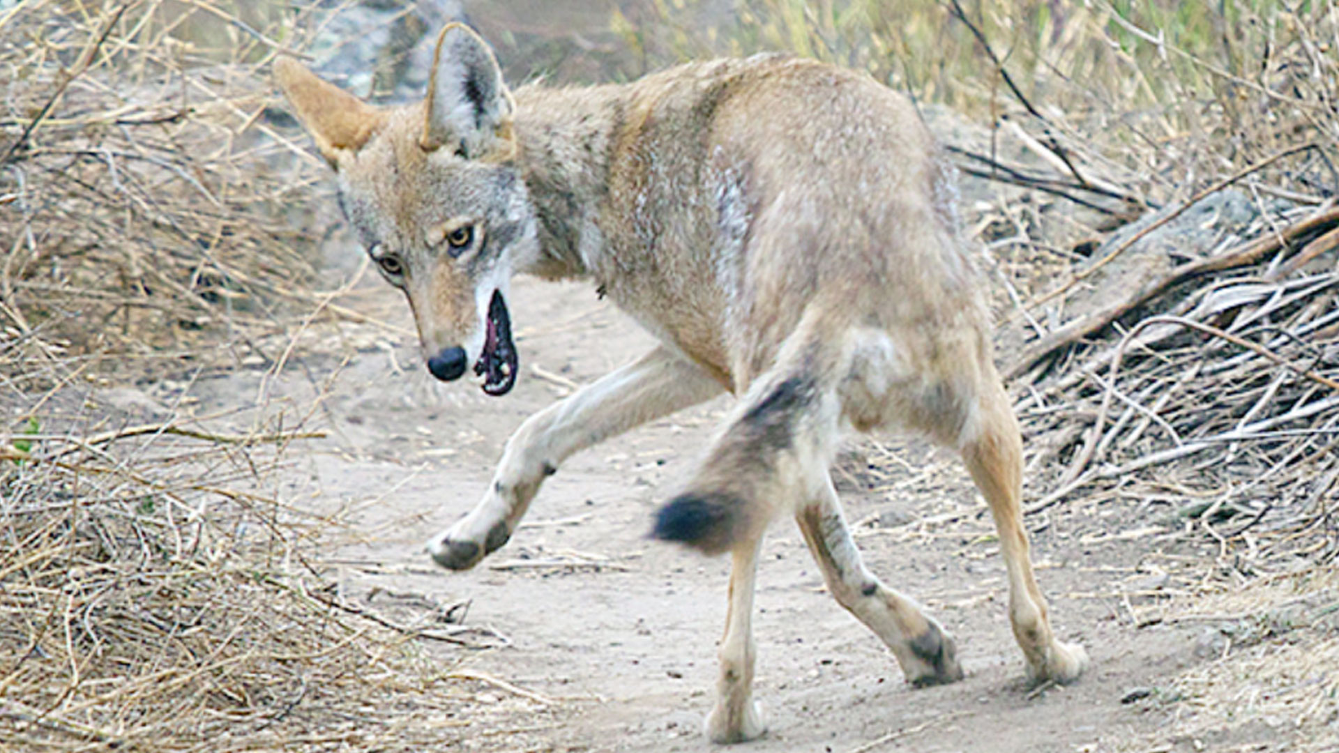 KELO Coyote