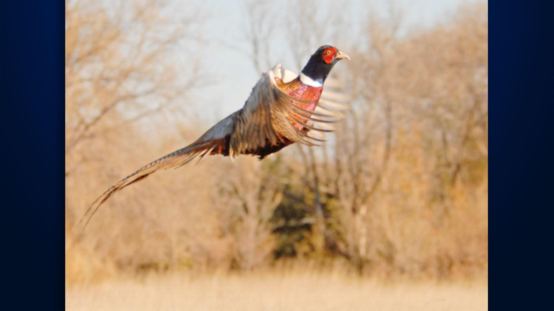 KELO Pheasant