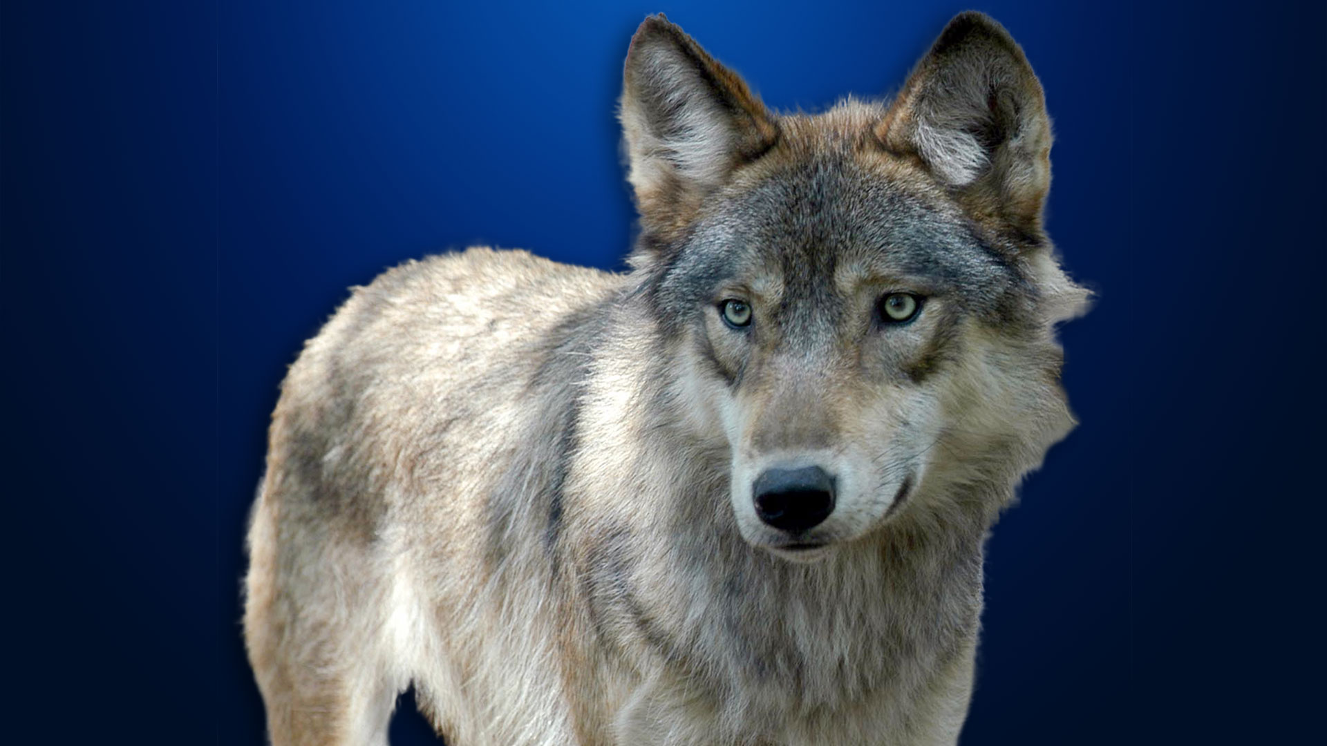 KELO Gray Wolf