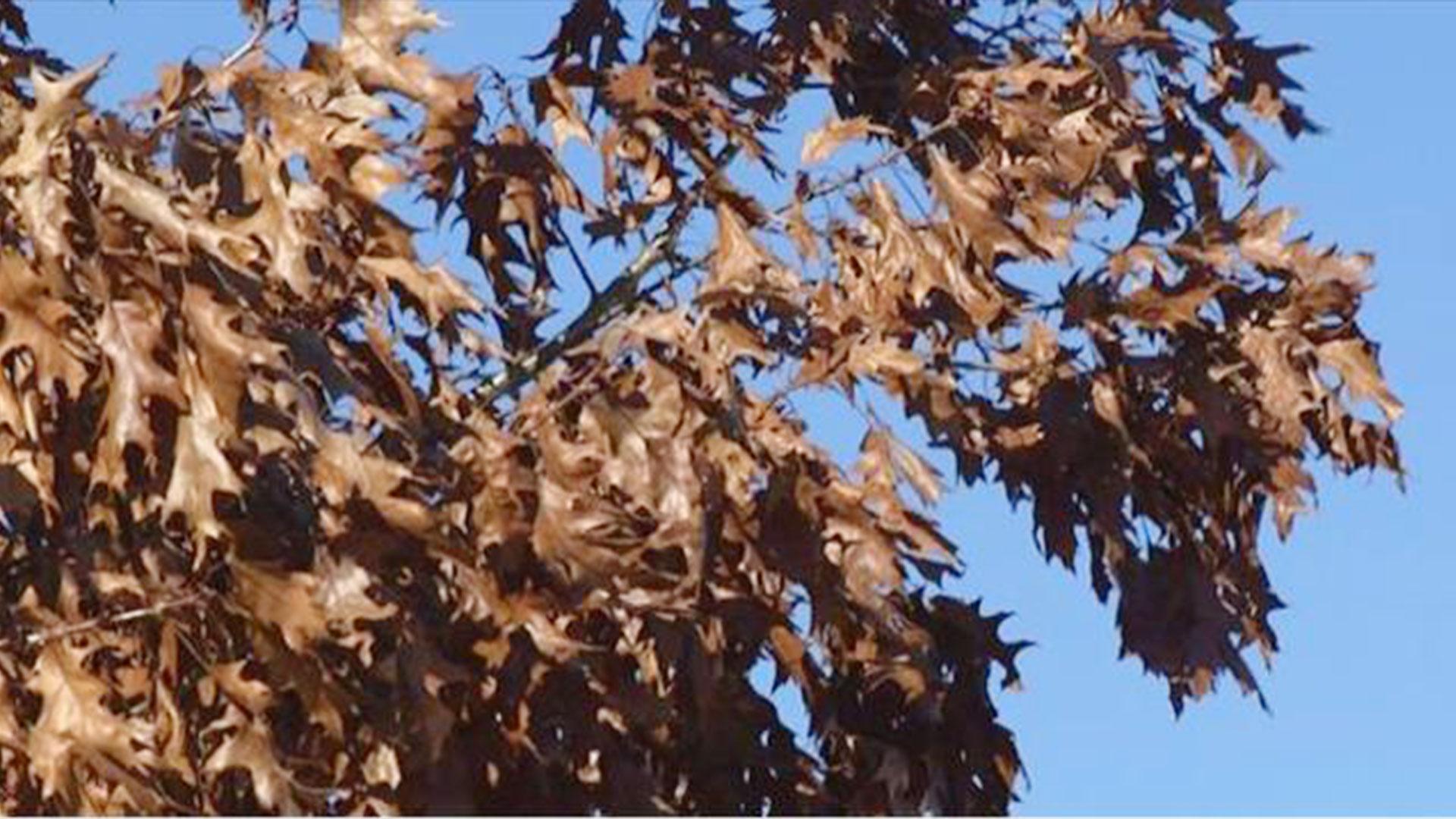 KELO Leaves2