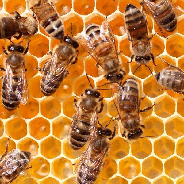 KELO bees honey honebees