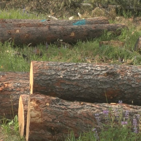 Pine Beetle Invasion Is Over, For Now