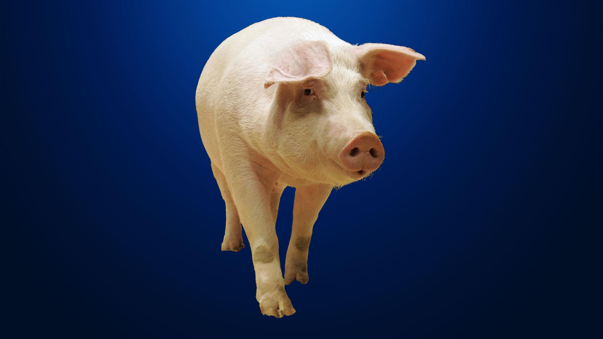 KELO Pig