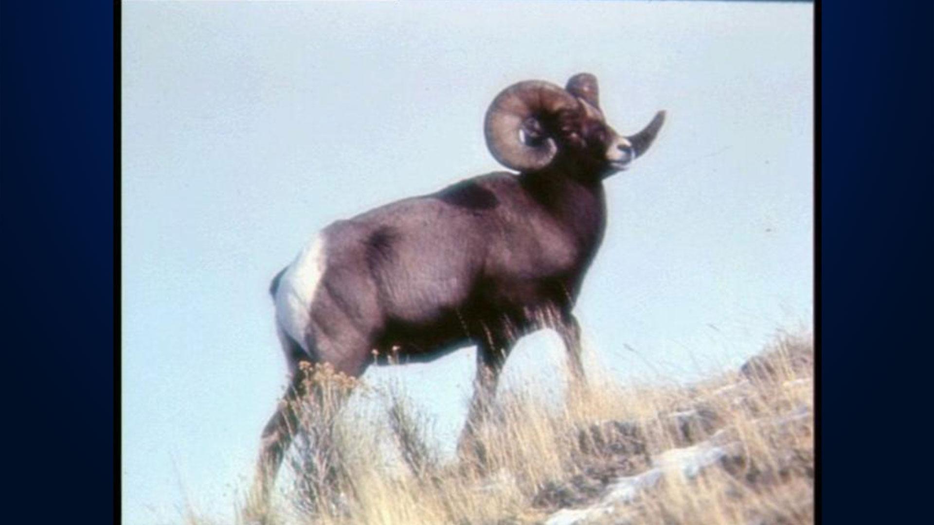 KELO Big Horn Sheep